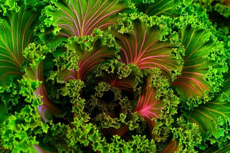 plant-mangel-kale-food-healthy-vegetable-fresh